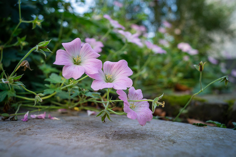 Geranium dreamland in bloei